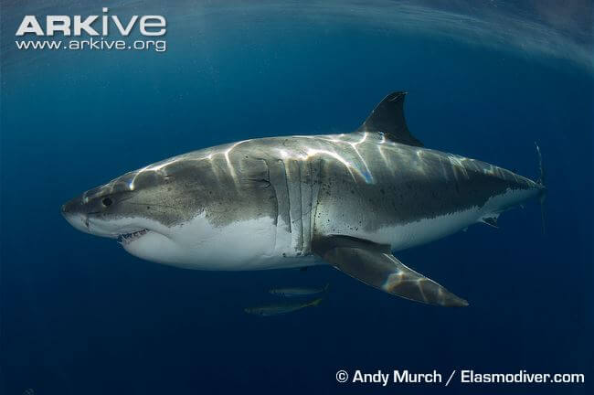 Great-white-shark-swimming-lateral-view