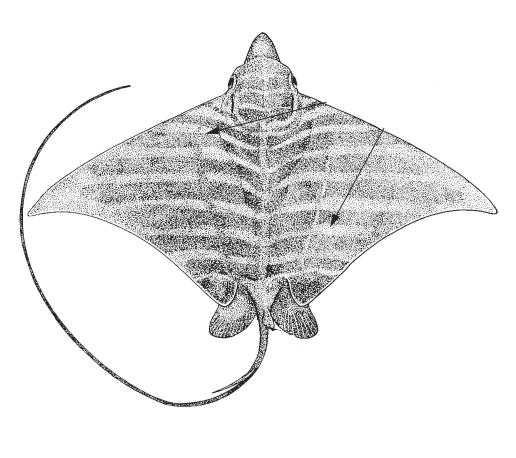 Aigle vachette <em>Pteromylaeus bovinus</em>