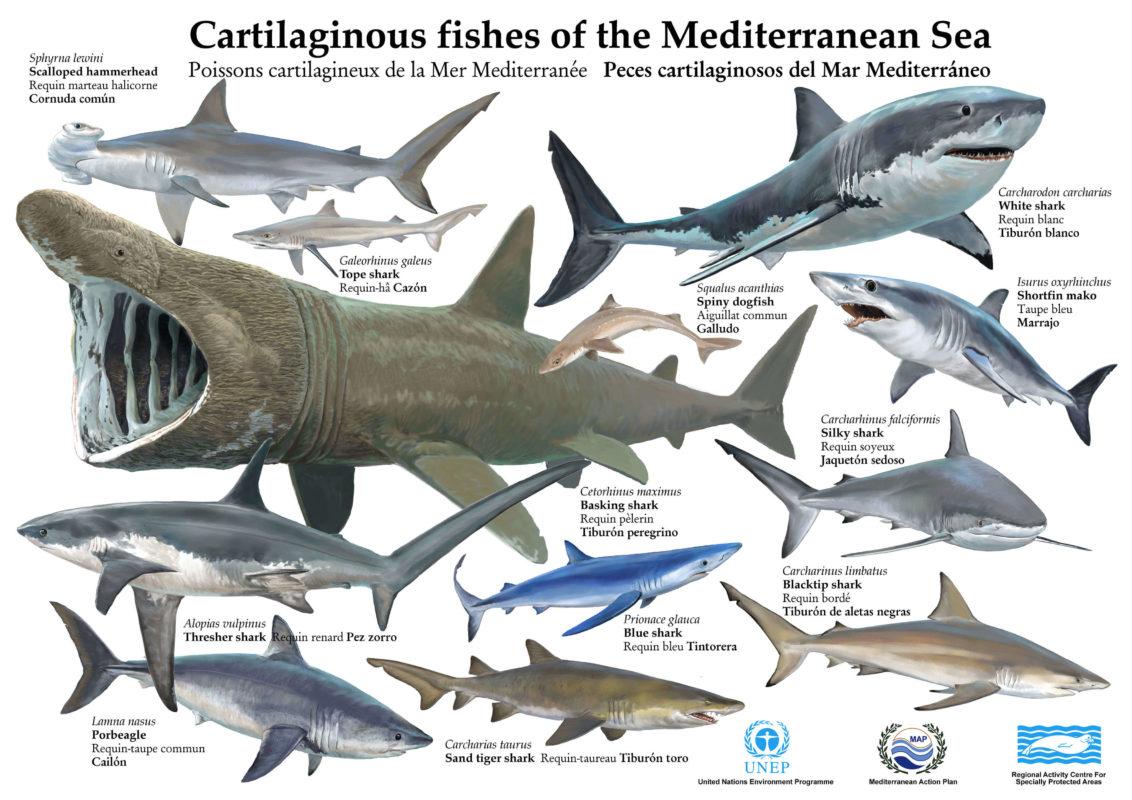 Les requins et raies de Méditerranée