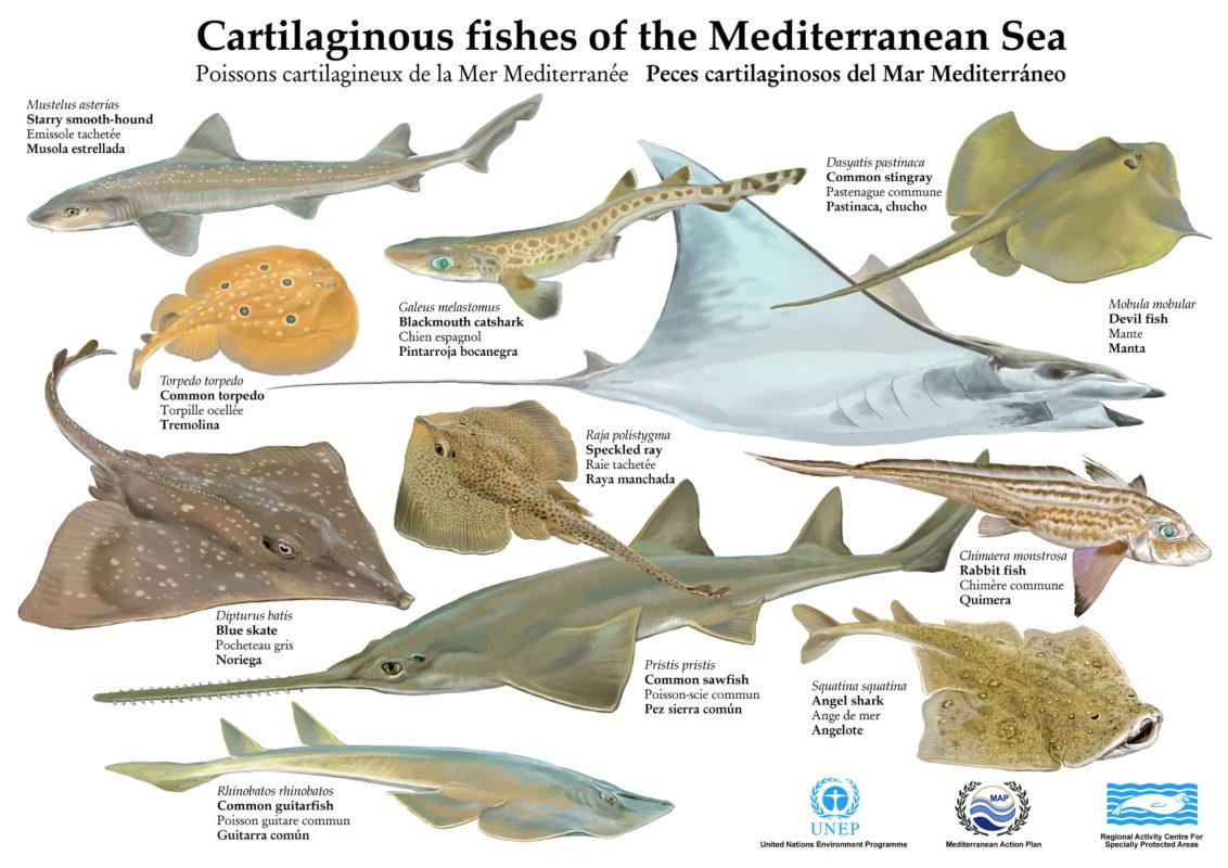 Les requins et raies de Méditerranée (2)